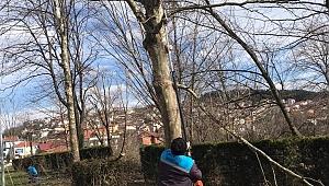 Sapanca'da Kuruyan ve Tehlike Arz Aden Ağaçlara Budama