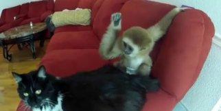Monkey Vs Cat Funny Video ( Monkey Vs Cat )