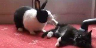 Komik Tavşan Kedi ile Uğraşıyor